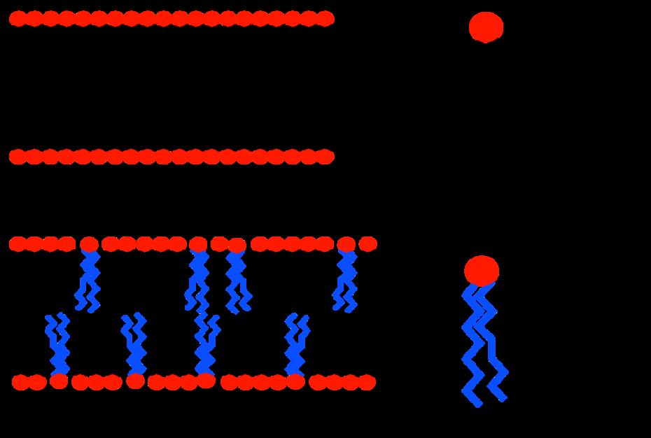 Membranen, Lipide, Fettsäuren