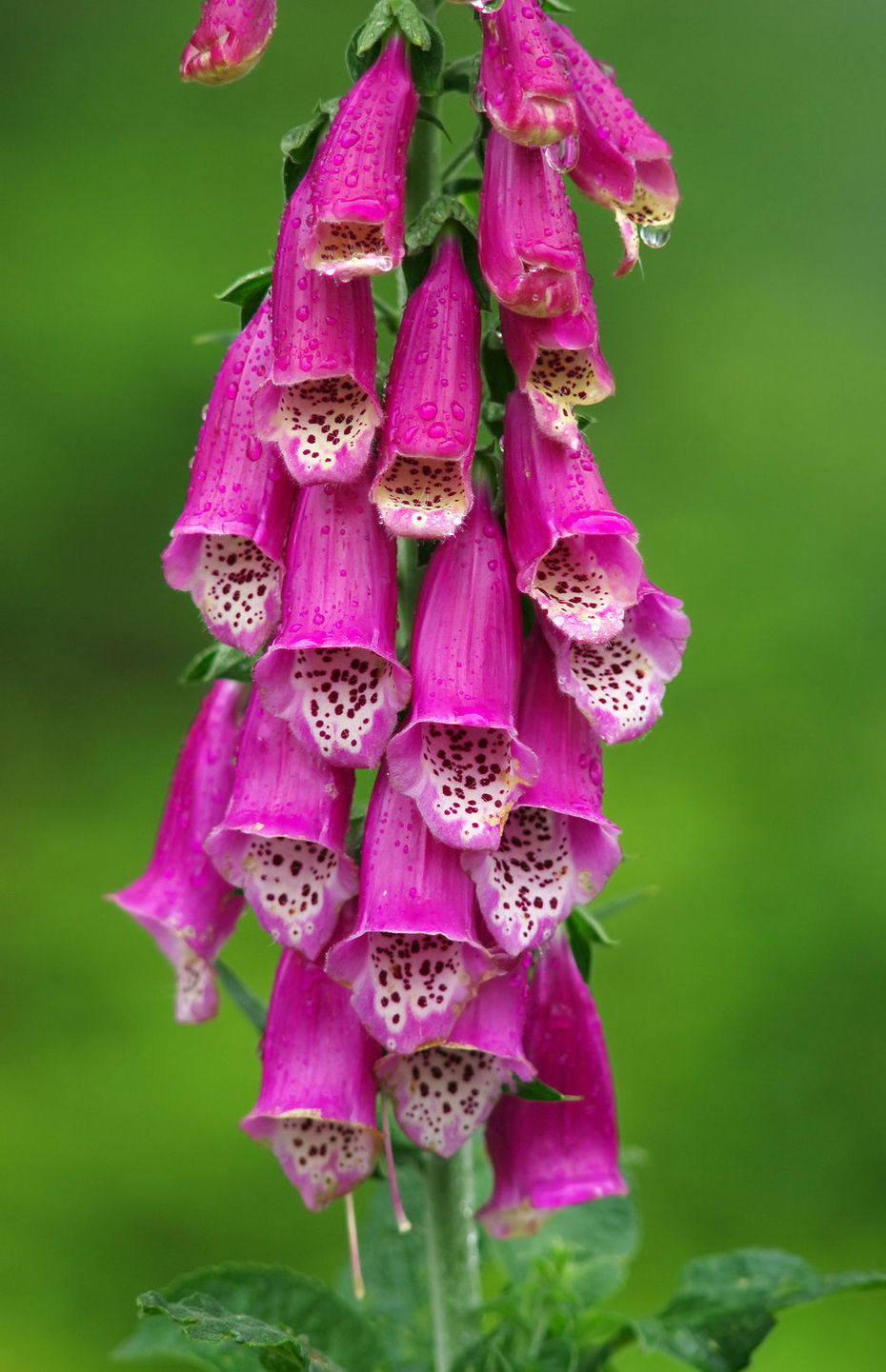 Digitalis purpurea L. (Roter Fingerhut)