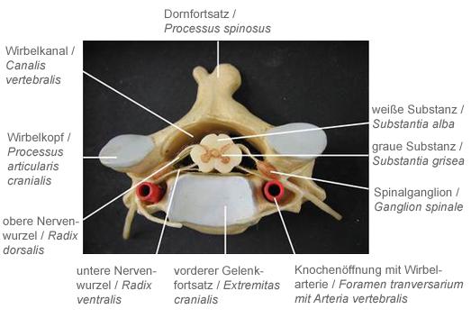 Beispielaufgabe Anatomie